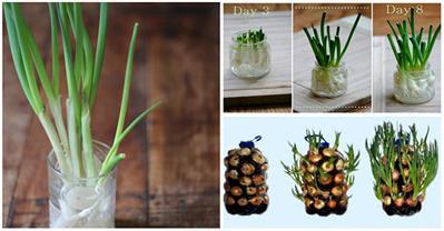 2 cách trồng hành đơn giản tại nhà, ăn quanh năm