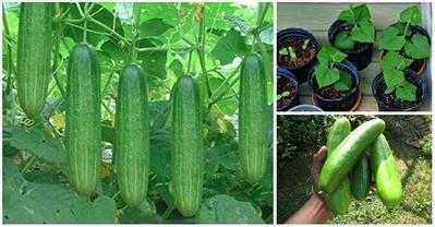 Bí quyết trồng dưa chuột, 1 tháng cho quả ngập giàn