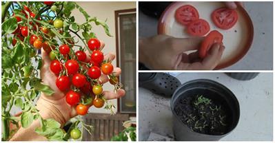Cách trồng cây đơn giản từ vài lát cà chua thái lát
