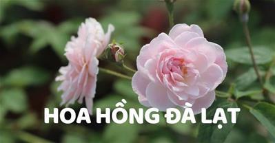 Gợi ý cách chăm sóc và nơi mua hoa hồng Đà Lạt về trồng, đúng giá