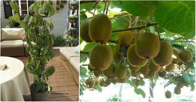 Hướng dẫn cách trồng kiwi tại nhà, tha hồ mà ăn