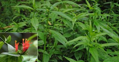 Phát hiện cây chữa ung thư giai đoạn cuối ở Việt Nam