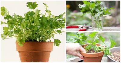 Trồng rau mùi từ phương pháp này mới nhanh thu hoạch
